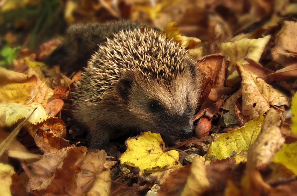 Igel im Herbstlaub - Foto: Monika