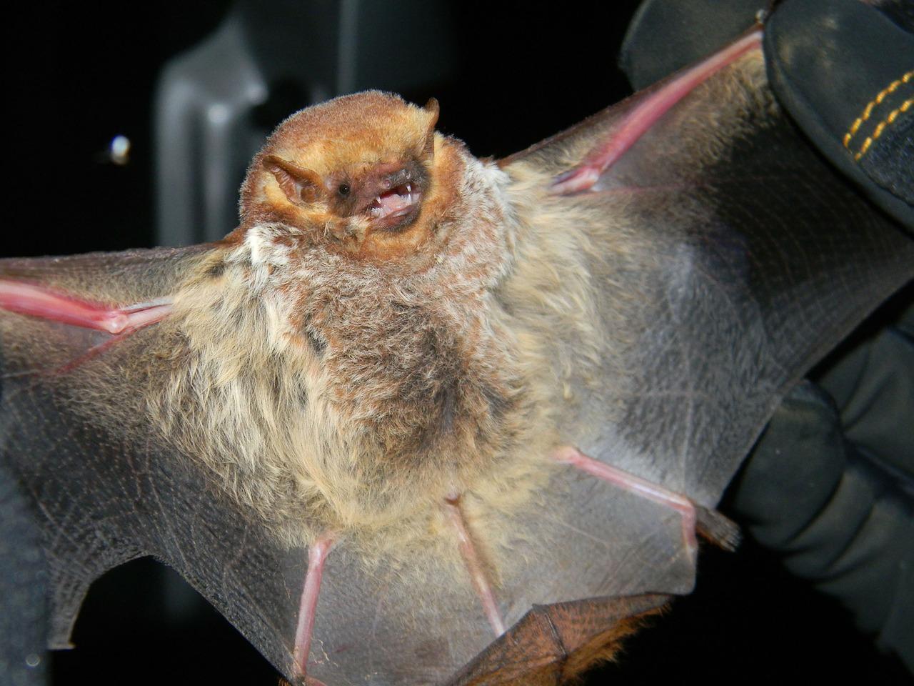 Fledermäuse – Merkmale und Arten